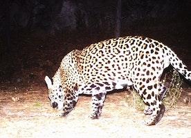 Wildlife officials: Video captures possible 2nd jaguar in US