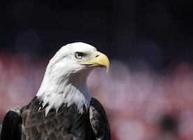 Obama admin regulation allows wind turbines to kill up to 4,200 bald eagles per company
