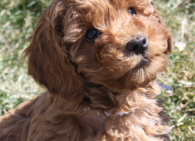 Here is my new dream dog: A Redheaded Labradoodle