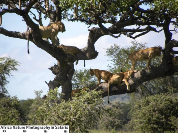 The Tree Climbing Lions Of Tanzania.