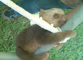 I Want A Baby Sloth. How do I get one? Because #ThisIsLove
