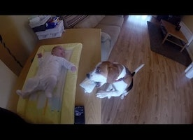 Dog Helps with Diaper: Charlie the beagle knows how to help with changing baby's diaper
