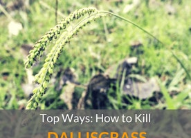 Top Ways: How To Kill Dallisgrass - Just Another Food Blog - GoodFoodFun.com