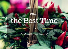 When Is The Best Time To Pick Your Serrano Peppers? - Just Another Food Blog - GoodFoodFun.com