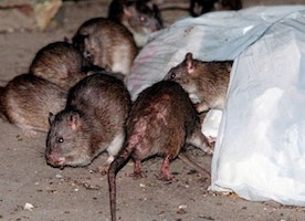 Dr. Manny: Rat epidemic in New York a dire warning for other cities