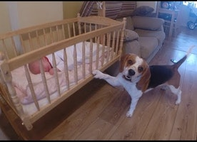 Smart dog puts baby to sleep in a swing crib (Charlie the beagle)