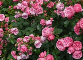 The History and Roots of the Damascena Rose