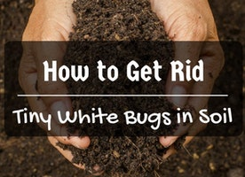 How to Get Rid of Tiny White Bugs in Soil - Just Another Food Blog - GoodFoodFun.Com