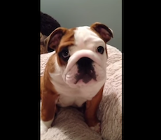 Watch This Bulldog Puppy Literally Flip Out Over His New Bed