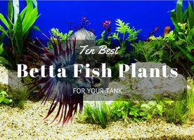 Top-Ten Best Betta Fish Plants For Your Tank - Just Another Food Blog - GoodFoodFun.Com