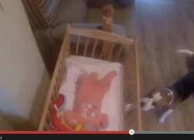 This Cute Beagle Proves to be the BEST Babysitter