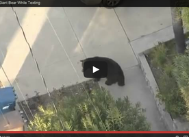 The Best Headline EVER: Guy Walks into Giant Bear While Texting