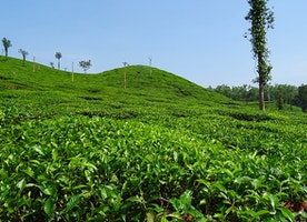 Cherish Picturesque View of Kerala Tea Gardens