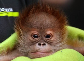 This adorable baby orangutan from Berlin Zoo will win your heart