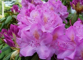 The Beginner's Guide To Caring For Rhododendrons In The Garden