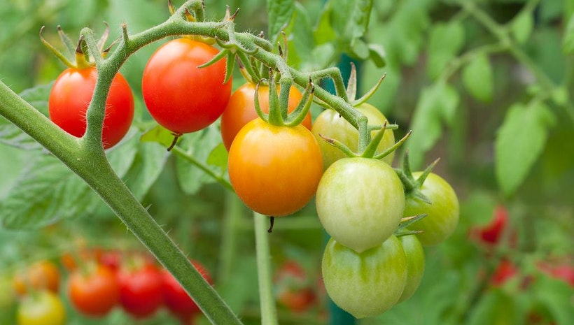 How To Grow Tomatoes At Your Home?