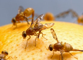 What Fruit Flies Can Tell Us About Human Sleep and Circadian Disorders