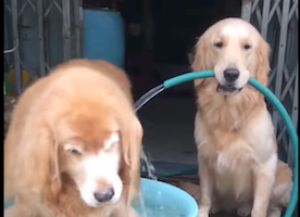 This Dog Visiting the Pool Gives His Furry Friend Quite the Surprise :-)