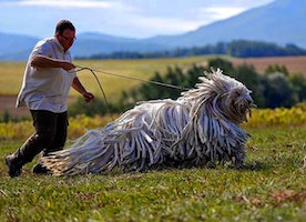 10 Dogs Who Just Don't Get How Big They Are! This Made My Day