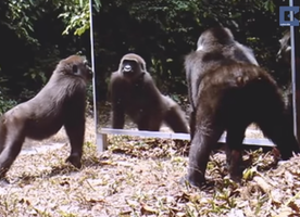 Watch Animals in Wild See Themselves in Mirror for First Time!