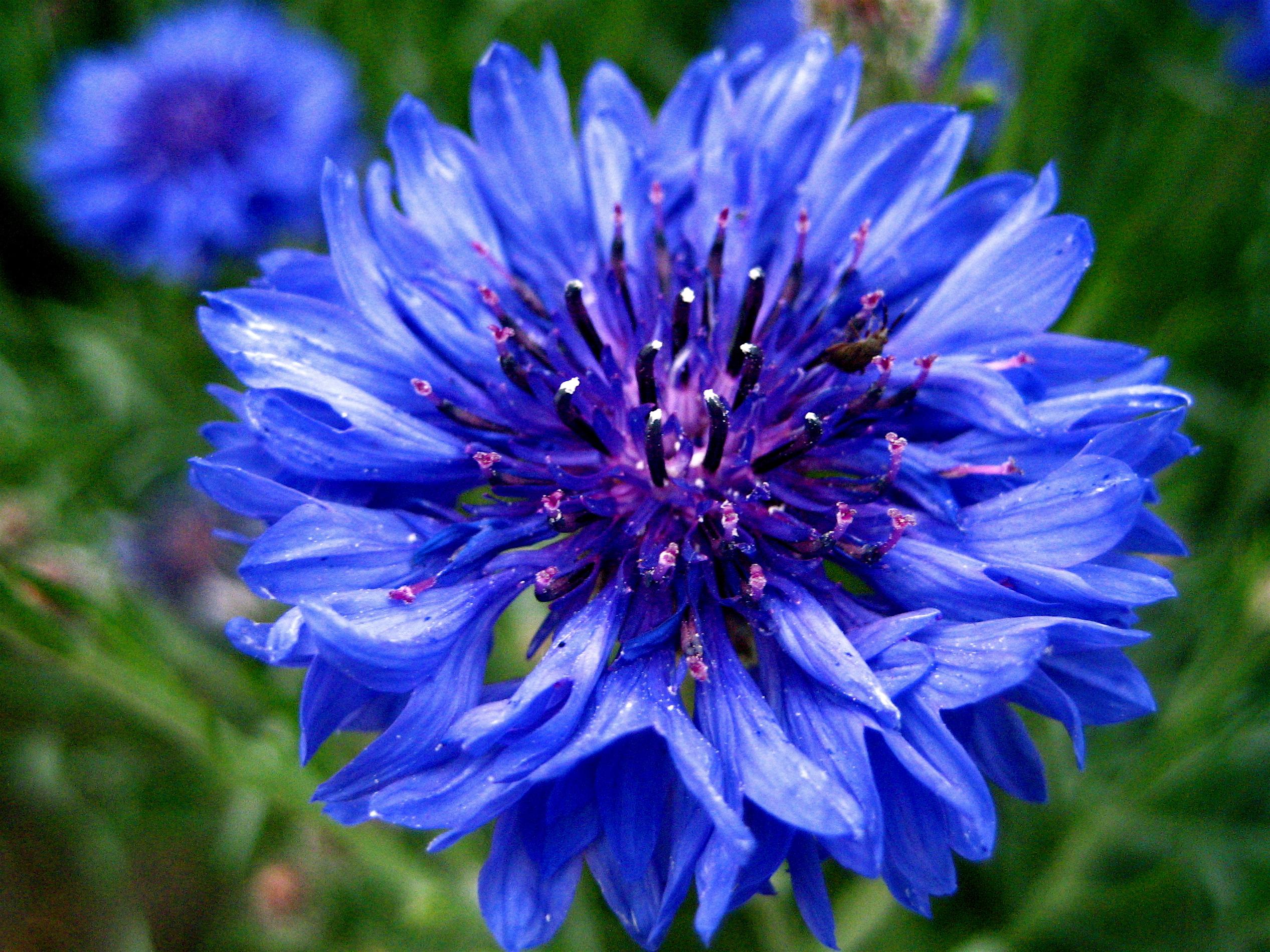Bachelor s button  basket flower  boutonniere flower  cornflower   3.jpg?ixlib=rails 0.3